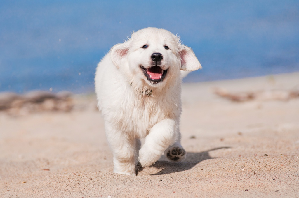 A Guide to Golden Retriever Exercise | The Golden Retriever