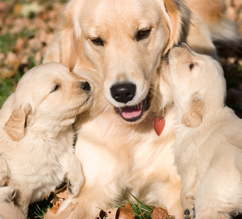 Healthy Golden Retriever Dogs for Sale | The Golden