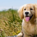 Exercising and Feeding your Golden Retriever Pup