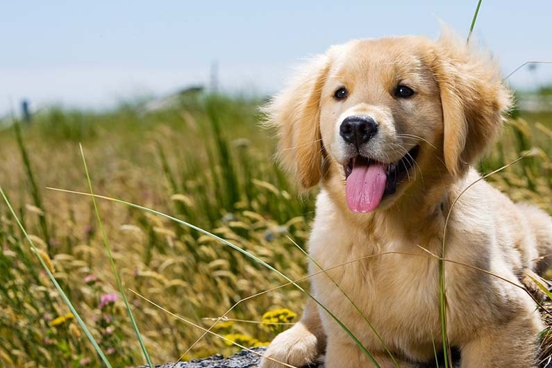 Feeding a Golden Retriever for Optimum Health