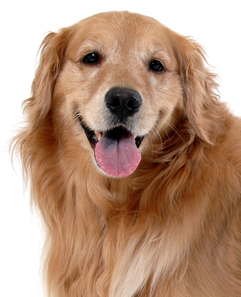 Golden retriever exercise needs