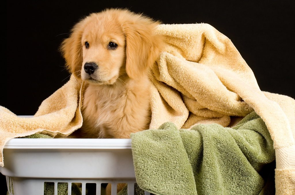 Essential Golden Retriever Insurance