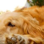 7 Tips to Reduce Golden Retriever Shedding