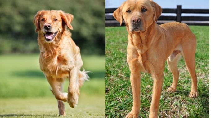 can you get golden retrievers with short hair